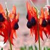 The Sturt Desert Pea - A Dreamtime Story...