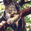 Photographs of powerful owl with possum