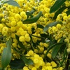Acacia - or Wattle. To celebrate Wattle Day, September 1st.