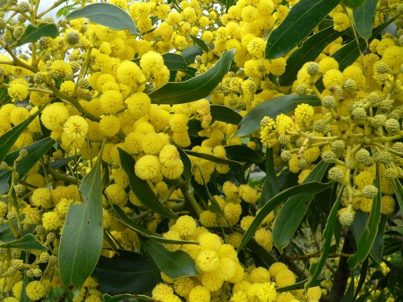 Acacia Or Wattle To Celebrate Wattle Day September 1st