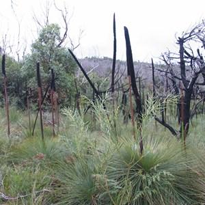Grass trees regenerating