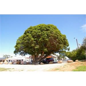 Morton Bay Fig Tree
