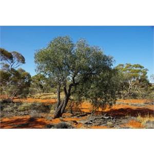 Sandalwood Trees