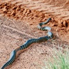 Close encounters with snakes of the Western Deserts -If it wriggles, it isn't a stick!(fotos & Vid)