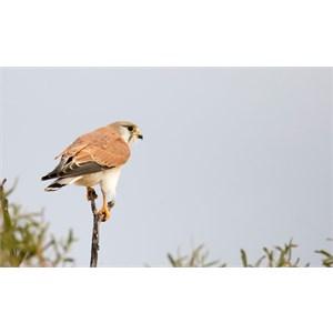 Brown Falcon 2