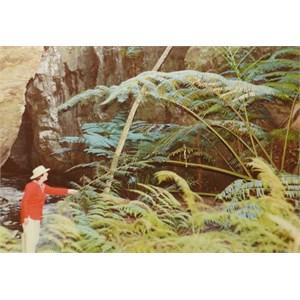 King Fern, Carnarvon Gorge