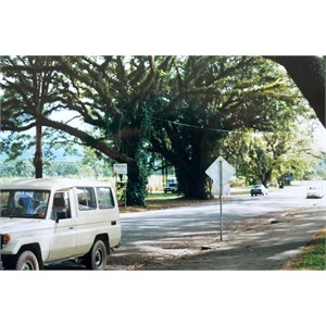 beautiful trees in Mossman, 2002