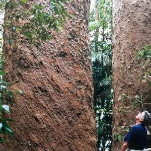 giant Kaurri pines