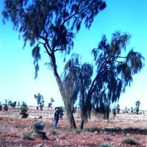 Acacia peuce in 2001
