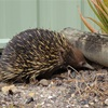 Photographs of an Echidna exploring our backyard