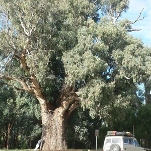 River Red Gum, Orroroo