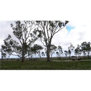 River Red Gums at Lake Albacutya, Vic