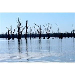 Dead river red gums in Lake Mulwala