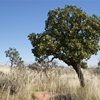 "Desert Walnut  (Owenia reticulata.) ""Turtujarti"" - A native of the Great Sandy Desert"