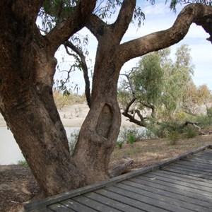 Dig Tree - Nappa Merrie