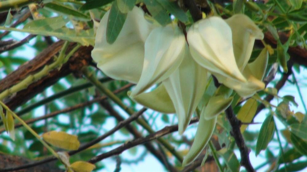 White dragon tree sesbania formosa exploroz blogs white flowers of the dragon tree mightylinksfo