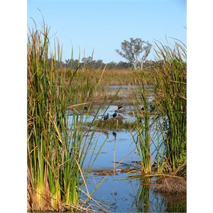 Macquarie Marshes reedbeds