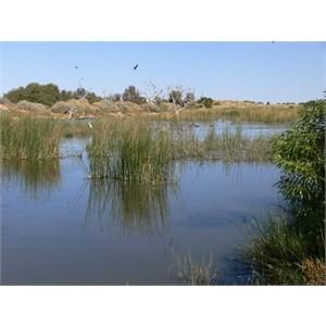 Mungerrannie wetland is home to plenty of waterbirds