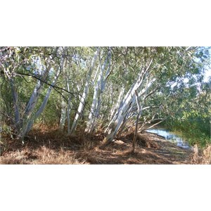 River Red Gums at Gum Hole Creek
