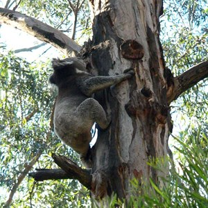 Plenty of koalas at Wye River