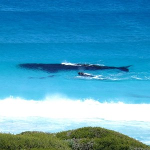 Whale and calf with dolphins, Trigelow Beach