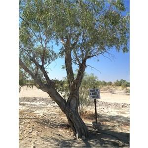 Burke and Wills Tree at Birdsville