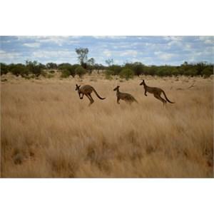 Kangaroos - Trilby Station