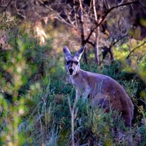 Wildlife - Mutawintji National Park