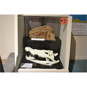 Saltwater croc v partial fossilised Kronosaurus skull