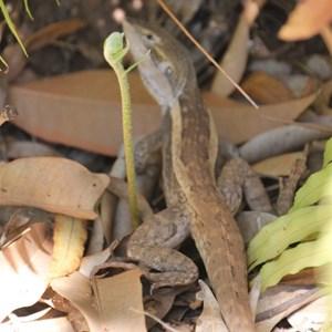 """""""Ta-Ta Lizard"""""""