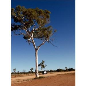 Len Beadell tree