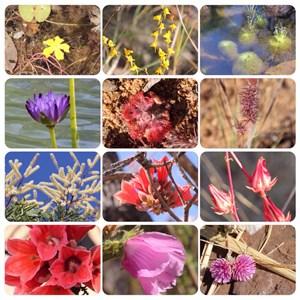 Flowers of theKimberley 1