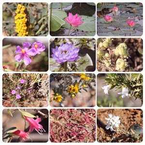 Wildflowers - Vic River to Oodnadatta