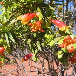 Eremophyla maculata, Kilcowera Station, Outback Australia.
