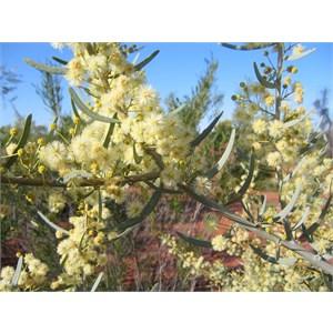 Acacia victoriae.