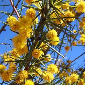 Acacia tetragonophylla,  Kilcowera Station, Thargomindah,  Outback Queensland.
