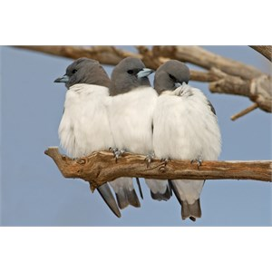 Mates!  White Breasted Wood Swallows.