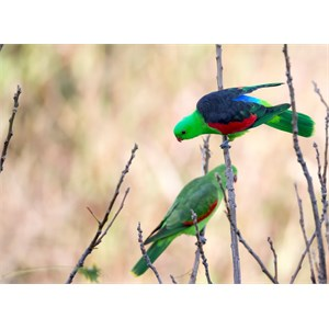 Pair of Red shouldered parrots