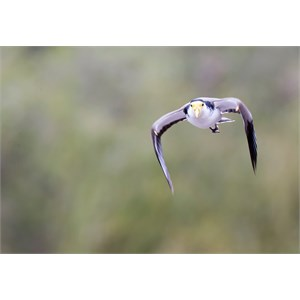 Masked lapwing eastern form