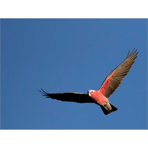 Birds further Birds additionally D547 A63 as well Birds together with Index7. on tracking parrots gps