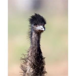 emu encounter