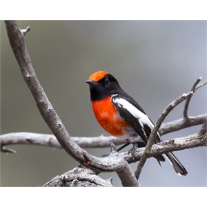 red capped Robin 2