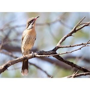 Spiny cheeked wattlebird