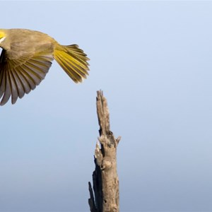 White plumed Honey eater exit