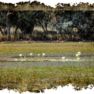 Quilpie Lake Waterlilys