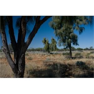 Acacia peuce
