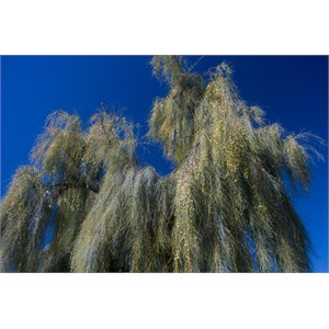 Flowering Acacia peuce