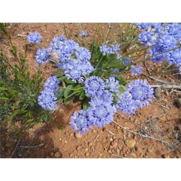 Dampiera wellsiana F.Muell. Wells' Dampiera;  Fragm. 10:12 (1876)ˆ