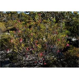 Flora - Peak Charles NP