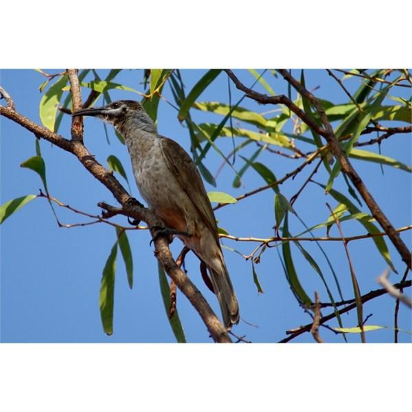 Little Friarbird - NW Kimberley